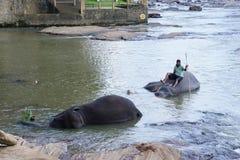 Baigner des éléphants Photo stock