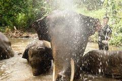 Baigner des éléphants dans un étang avec l'éclaboussement, plan rapproché image libre de droits
