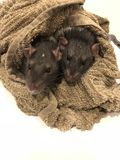 Baigner des rats Photo libre de droits