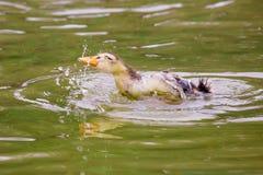 Baigner le canard de bébé Photos libres de droits