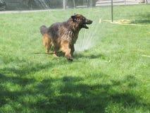 Baigner le chien Photographie stock libre de droits