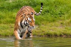 Baigner le tigre photographie stock libre de droits
