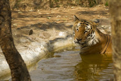 Baigner le tigre Image libre de droits