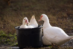 Baignez le moschata de Cairina de canard photographie stock