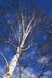 baikal ανασκόπησης δέντρο λιμνών σημύδων Στοκ Εικόνα