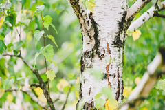baikal ανασκόπησης δέντρο λιμνών σημύδων Στοκ φωτογραφία με δικαίωμα ελεύθερης χρήσης