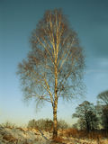 baikal ανασκόπησης δέντρο λιμνών σημύδων Στοκ Εικόνες