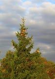 baikal ανασκόπησης δέντρο πεύκων λιμνών Στοκ Εικόνες