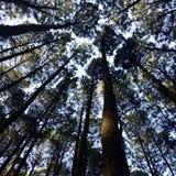 baikal ανασκόπησης δέντρο πεύκων λιμνών στοκ εικόνες με δικαίωμα ελεύθερης χρήσης