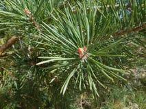 baikal ανασκόπησης δέντρο πεύκων λιμνών Στοκ εικόνα με δικαίωμα ελεύθερης χρήσης