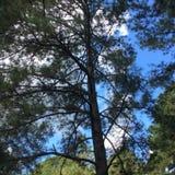baikal ανασκόπησης δέντρο πεύκων λιμνών Στοκ φωτογραφία με δικαίωμα ελεύθερης χρήσης