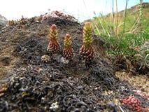 Baikal endemics zdjęcie royalty free