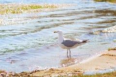 baikal lake Seagull på kusten Arkivfoton