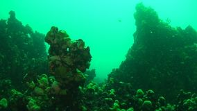 Baikal Lake Underwater. Underwater landscapes of Baikal Lake covered with green baikal sponge mats stock video footage