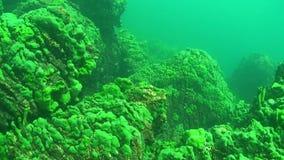 Baikal Lake Underwater. Underwater landscapes of Baikal Lake covered with green baikal sponge mats stock footage