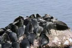 Baikal Mammal Royalty Free Stock Image