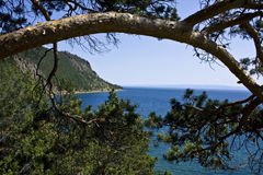 The Baikal pines Royalty Free Stock Image