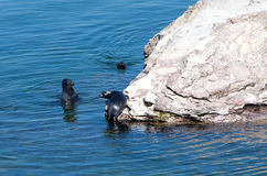 Baikal seal on rest Royalty Free Stock Image
