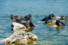 Baikal Seals Royalty Free Stock Photo