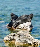 Baikal Seals Stock Photo
