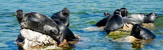 Baikal seals Stock Images