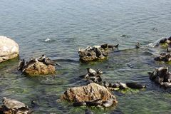 Baikal seals lie on rocks on the Ushkan Islands stock images