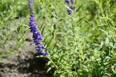Scutellaria baicalensis called Baikal skullcap royalty free stock images