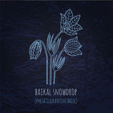 Baikal snowdrop illustration in doodle style. Stock Photos