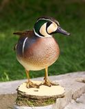 Baikal teal Stock Photos