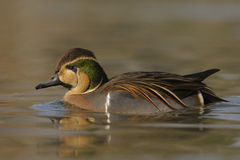 Baikal Teal - Anas formosa Royalty Free Stock Photography