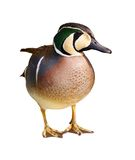 Baikal teal - anas formosa - Isolated Stock Photos