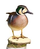 Baikal teal - anas formosa - Isolated Royalty Free Stock Images