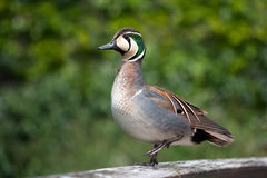 Baikal teal Stock Photography