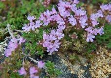 Baikal Thymus. Thymus eubajcalensis ,  near lake Baikal,  Russia Royalty Free Stock Images
