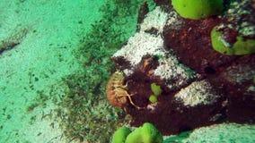 Baikal underwater. Acanthogammarus on the bottom of Lake Baikal stock video
