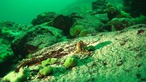 Baikal underwater. Acanthogammarus on the bottom of Lake Baikal stock footage