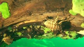 Baikal underwater. Acanthogammarus on the bottom of Lake Baikal stock video footage