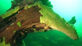 Baikal underwater. Acanthogammarus on the sunk wood on the bottom of Lake Baikal stock footage