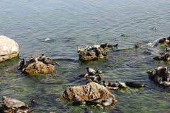 Baikalrobben liegen auf Felsen auf den Ushkan-Inseln stockbilder