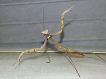 Baile de la mantis religiosa Foto de archivo libre de regalías