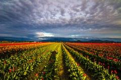 Baile de la sombra con los tulipanes Imagen de archivo libre de regalías