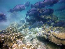 Baile de los pescados del león en coral duro Imágenes de archivo libres de regalías