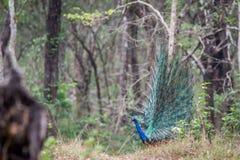 Baile del pavo real en bosque Imagen de archivo libre de regalías