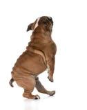 Baile del perro Fotos de archivo libres de regalías