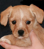 Bailey cute puppy Stock Images