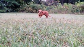 Bailey il chiwennie Fotografia Stock Libera da Diritti