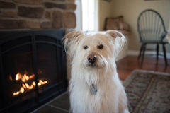 Wheaton Terrier Mix Sitting by Fireplace. Wheaten terrier mix sitting by a fireplace Royalty Free Stock Photo