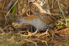 Baillon's Crake Walking Stock Image