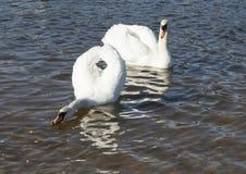 Bain blanc de cygnes Image stock