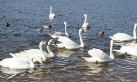 Bain blanc de cygnes Photo libre de droits
